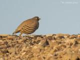 Arabische Woestijnpatrijs - Sand Partridge