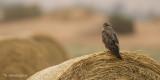 Buizerd - Common Buzzard