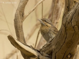 Draaihals - Eurasian Wryneck