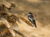 Balkanvliegenvanger - Semicollared Flycatcher