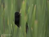 Epauletspreeuw - Red-winged Blackbird