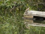 Amerikaanse Oeverloper - Spotted Sandpiper