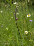 Rood Bosvogeltje - Red Helleborine - Cephalanthera rubra