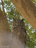 Afrikaanse Oehoe - (Arabian) Spotted Eagle Owl - Bubo africanus
