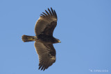 Bastaardarend - Greater Spotted Eagle - Aquila clanga