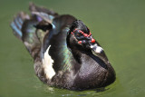 Pato crioulo- Wild Muscovy Duck (Cairina Moschata)
