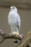 Gavião Pedrês - Gray-lined Hawk (Buteo Nitidus)