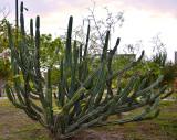 Cactus Mandacaru (Cereus Jamacaru) by day