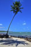 Lone coconut tree...