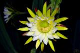 Cactus Mandacaru (Cereus Jamacaru)
