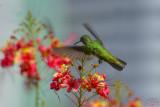 Plain-bellied Emerald hummingbird (Amazilia Leucogaster)