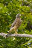 Gavião-carijó - Roadside hawk - (Rupornis Magnirostris)
