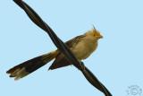 Guira Cuckoo - Anu Branco (Guira guira)
