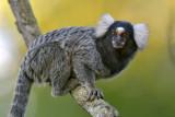 Common marmoset (Callithrix Jacchus)
