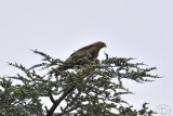 Red kite up on a tree