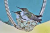 Hummingbirds on the phone #2 !
