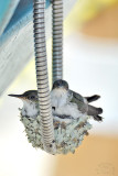 Hummingbirds on the phone #4 !