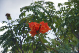Spathodea Campanulata -Tulipier du Gabon