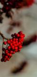 #Red #Rowanberries in Swedish Fall