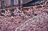 Romantic cherryblossoms, with a bird in the centre of Stockholm.