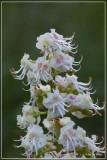 Witte paardenkastanje - Aesculus hippocastanum