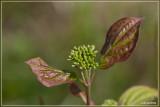 Rode kornoelje - Cornus sanguinea