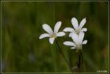 Knolsteenbreek - Saxifraga granulata