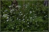 Grootbloemige muur - Stellaria holostea