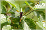 Gevlekte witsnuitlibel - Leucorrhinia pectoralis