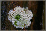 Kammetjesstekelzwam - Hericium coralloides