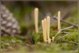Heideknotszwam - Clavaria argillacea