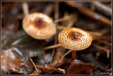 Kastanjeparasolzwam - Lepiota castanea