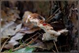 Dennenmoorder - Heterobasidion annosum