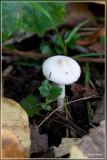 Witte Satijnvezelkop - Inocybe geophylla var. geophylla