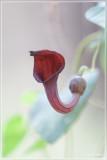Aristolochia baetica