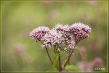 Koninginnekruid - Eupatorium cannabinum