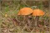 Oranje Berkenboleet - Leccinum versipelle