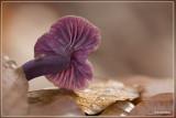 Amethistzwam - Laccaria amethystina