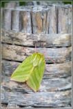 Zilveren groenuil (Pseudoips prasinana)