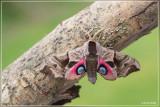 Pauwoogpijlstaart - Smerinthus ocellata