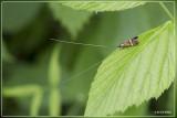 Geelband langsprietmot - Nemophora degeerella