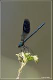 Weidebeekjuffer- Calopteryx splendens