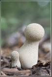 Parelstuifzwam - Lycoperdon perlatum
