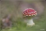 _MG_1022.jpg Vliegenzwam - Amanita muscaria