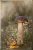 Gewone berkenboleet - Leccinum scabrum