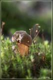 Gewone heksenboleet - Boletus erythropus