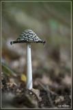 Spechtinktzwam - Coprinopsis picacea  20150928_0686