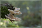 Gewone oesterzwam - Pleurotus ostreatus