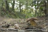Vroeg eekhoorntjesbrood - Boletus reticulatus ?