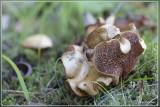 Peperboleet - Chalciporus piperatus
